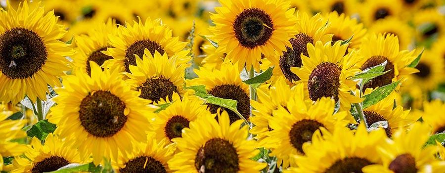 frasi sui fiori gialli