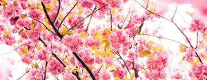 Frasi sui fiori di ciliegio
